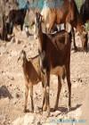 Heidi, la cabra majorera